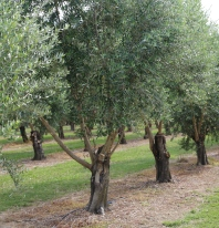 Esk Valley Olives 2018 (10)